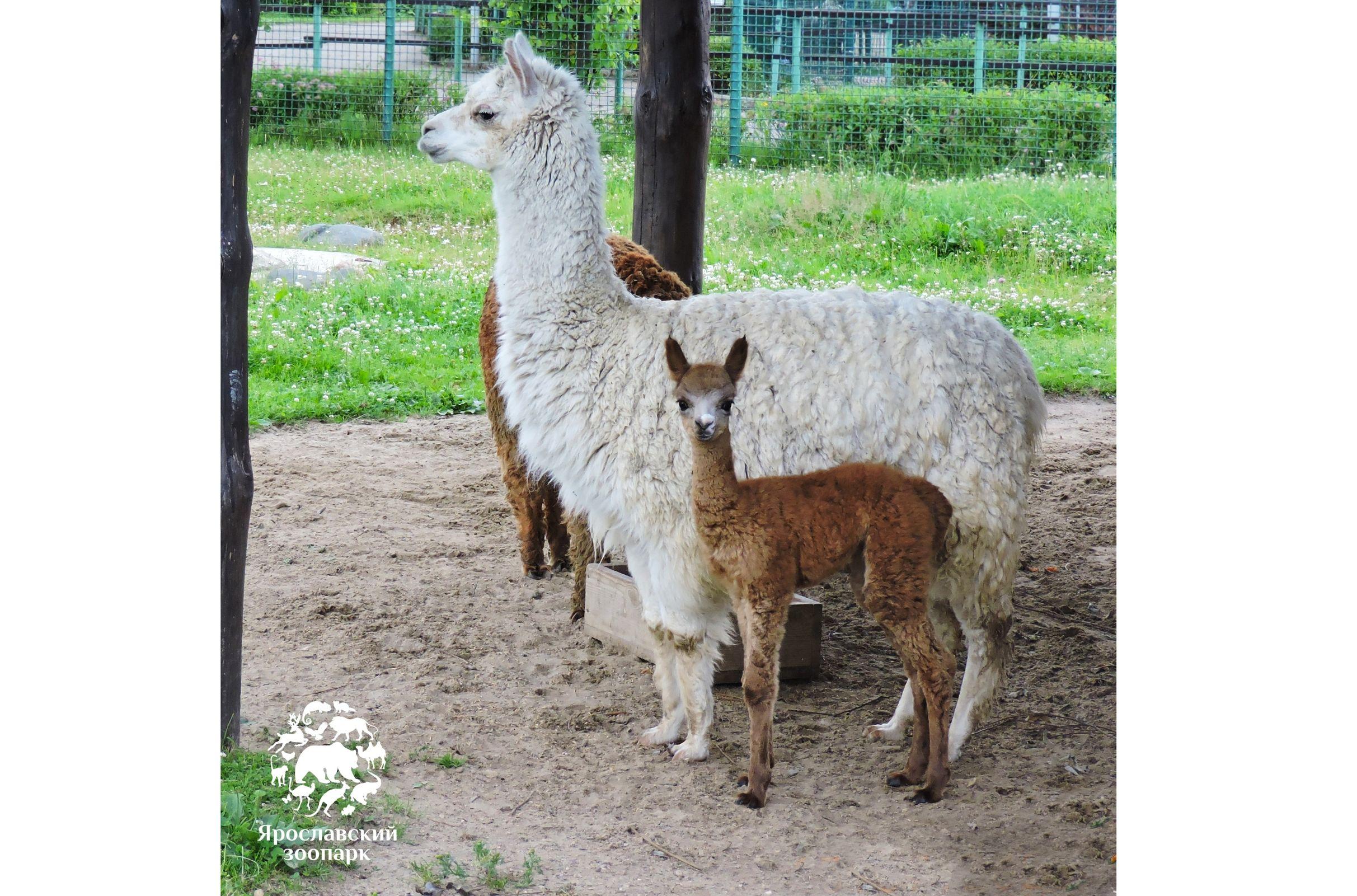 Малышке-альпака в Ярославском зоопарке выбрали имя