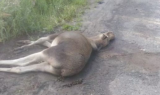 В Ярославле водитель иномарки сбил лосенка