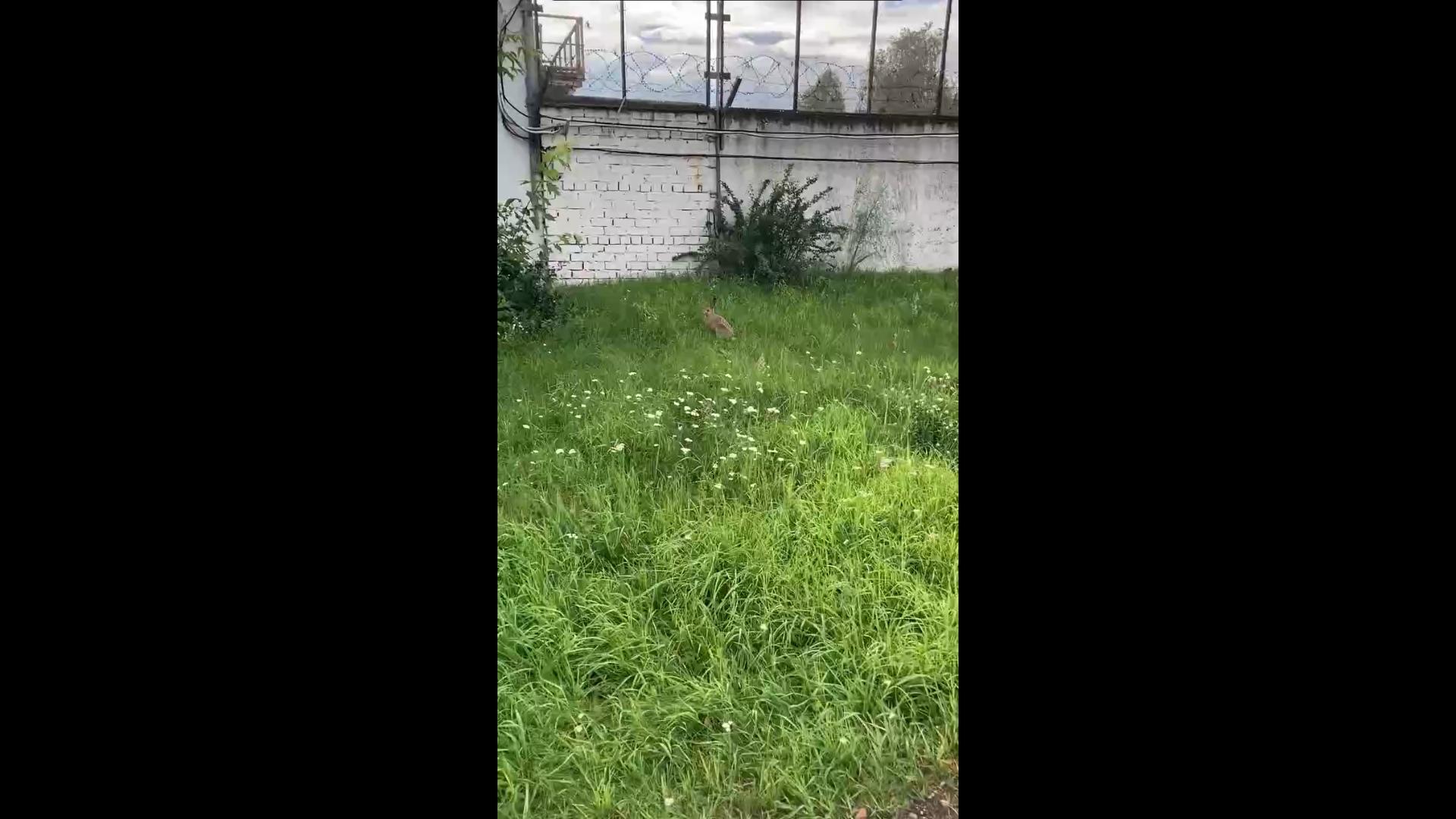 Лиса с зайцем на заводах и енотовидная собака у дороги: какие животные гуляют по Ярославлю