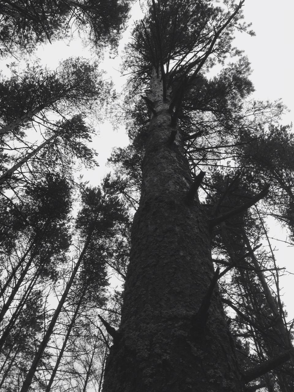 Ярославцы могут проголосовать за участников конкурса «Российское дерево года»