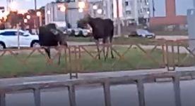 Два лося гуляли по тротуару на крупном проспекте в Ярославле: видео