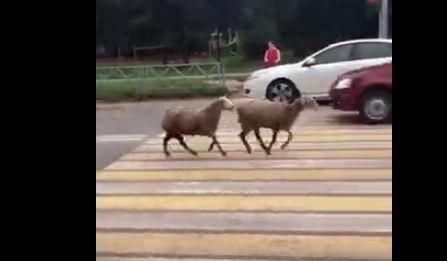 В Ярославле по проспекту бегают овцы
