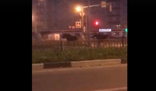 На проспекте в Ярославле сняли на видео двух лосей