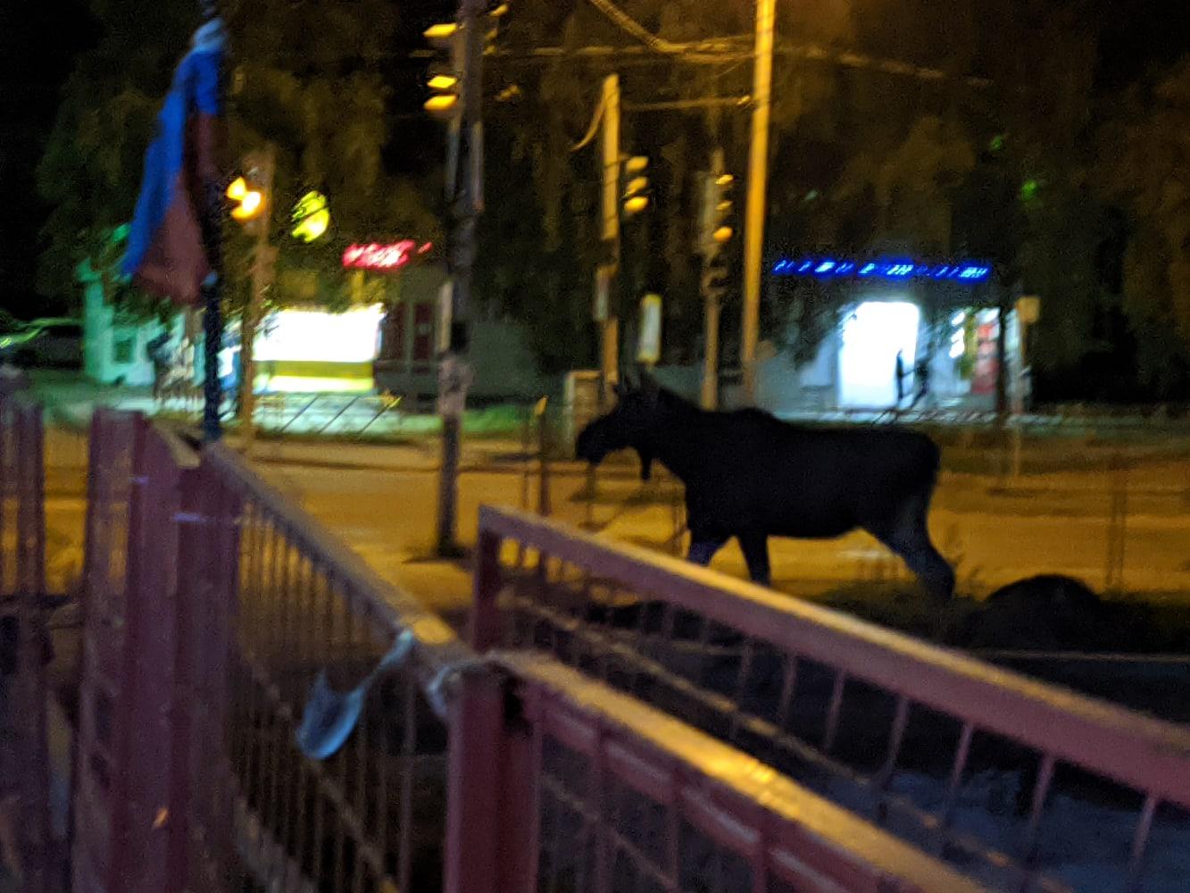 На проспекте Машиностроителей в Ярославле гулял лось