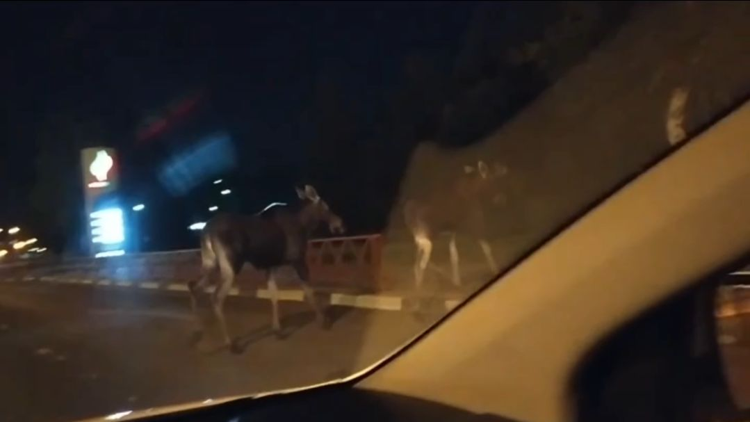 В Ярославле на проспекте снова встретили лосей: видео