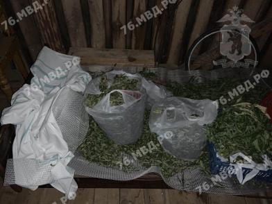 У жителя Ярославской области нашли около 13 килограммов высушенной конопли и 398 кустов растения