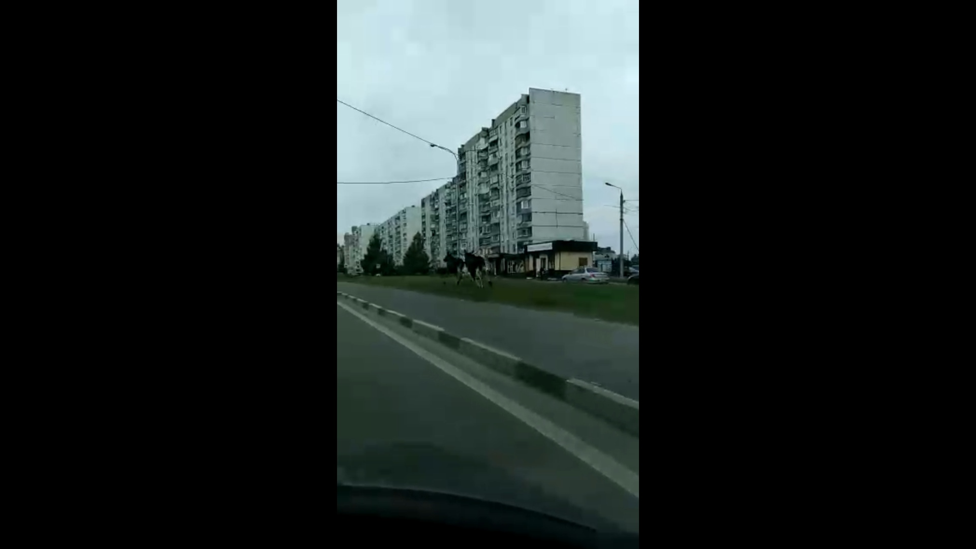 «Видимо, кто-то выгуливает»: в Ярославле на проспекте Фрунзе носились два лося