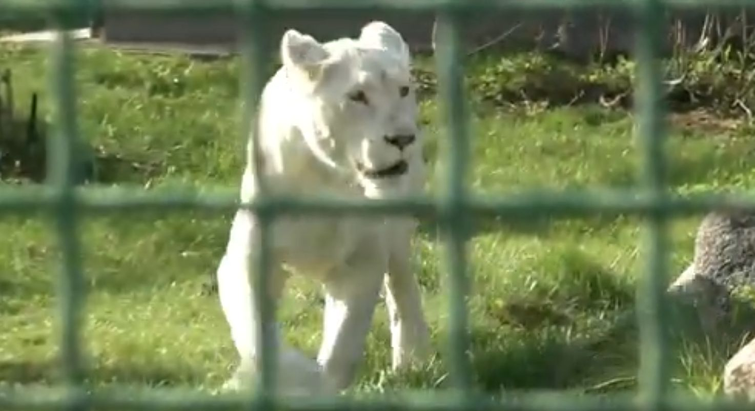«МебельМаркт» взял под опеку львицу в Ярославском зоопарке