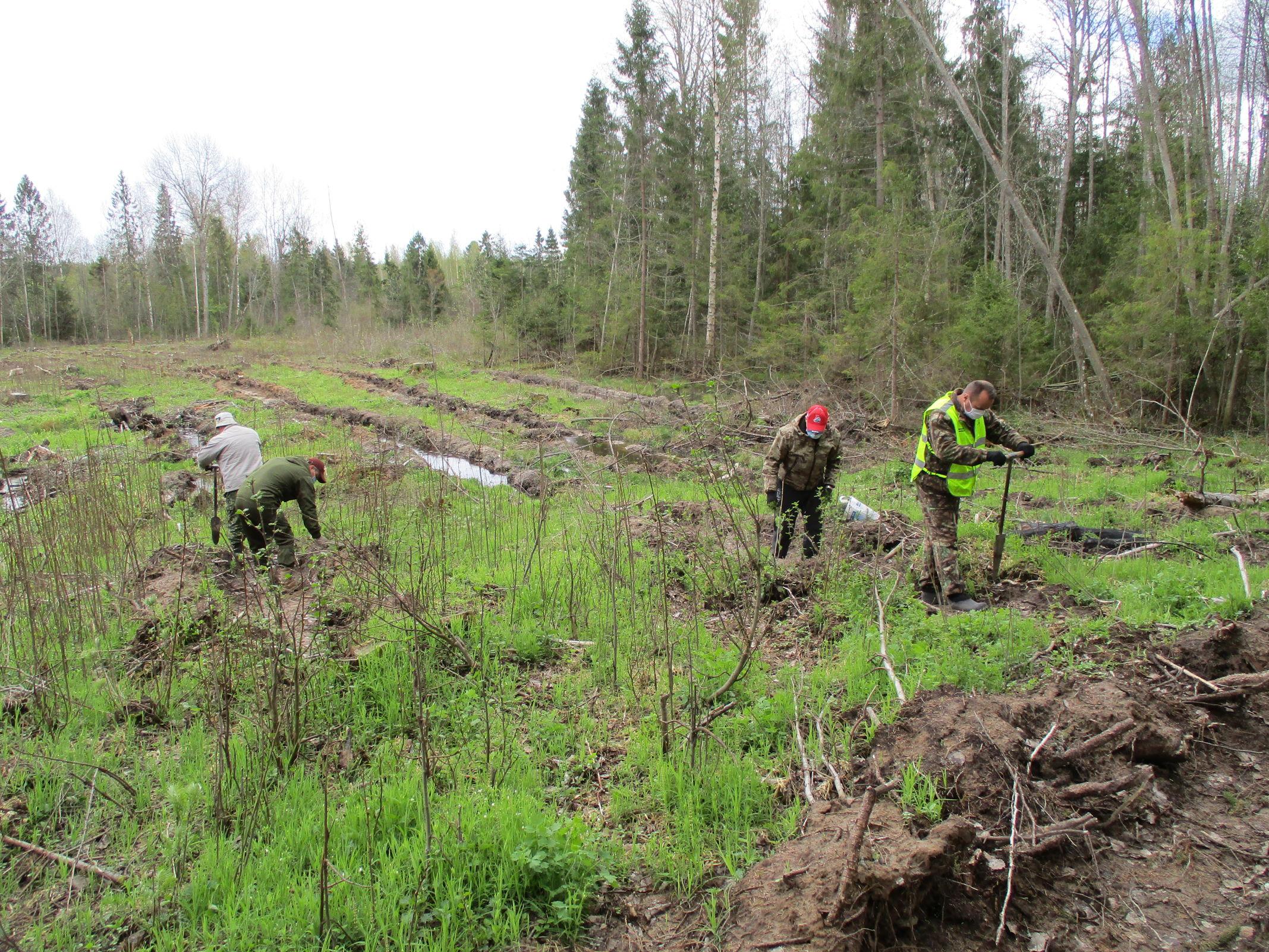 81 тысячу деревьев посадили в Ярославской области в рамках акции «Сохраним лес – 2020»