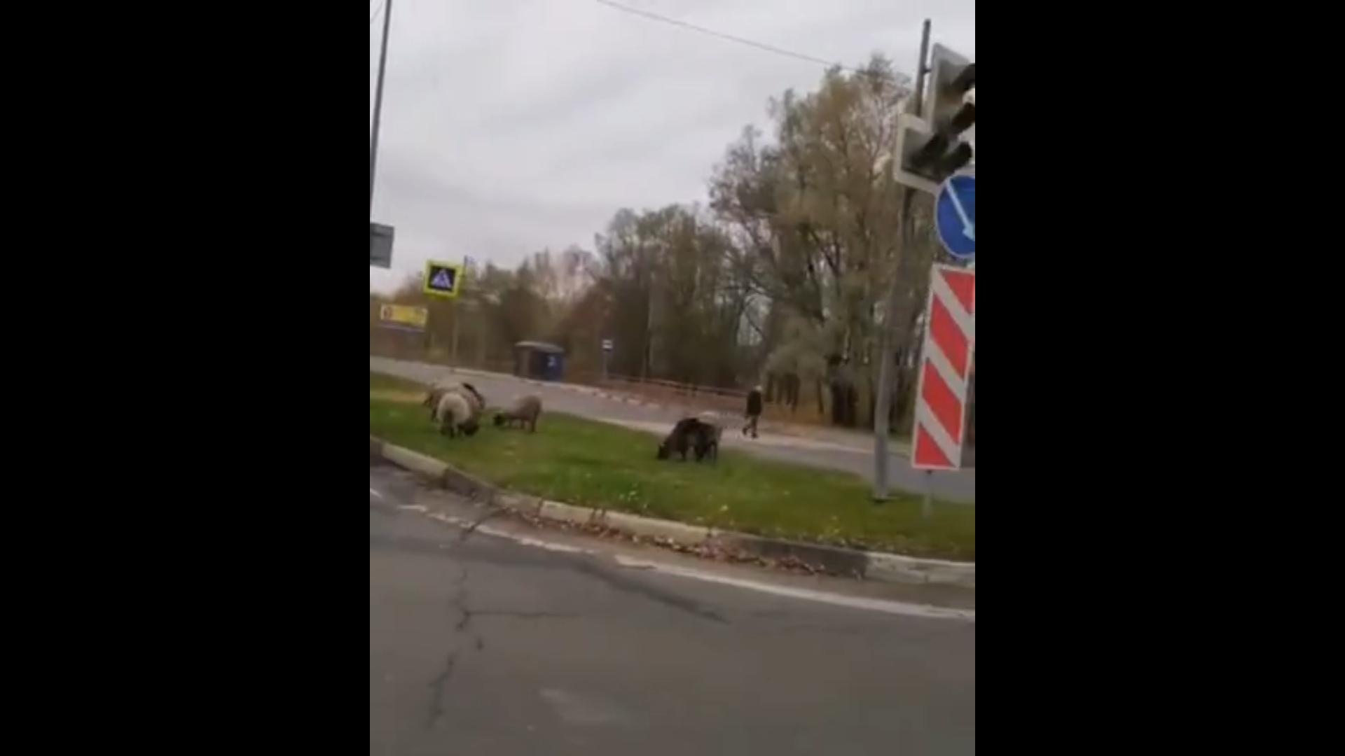 Овцы на «зеленом островке» на проспекте в Ярославле решили подкрепиться