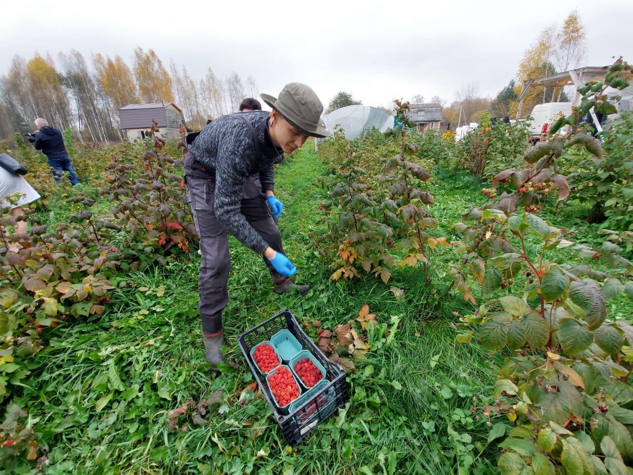 В Гаврилов-Ямском районе на средства стартапа выращивают малину, клубнику и жимолость