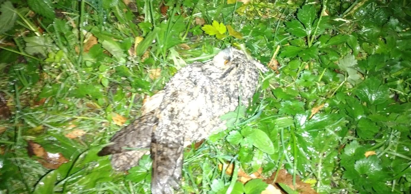 В Ярославле волонтеры взялись за спасение ушастой совы