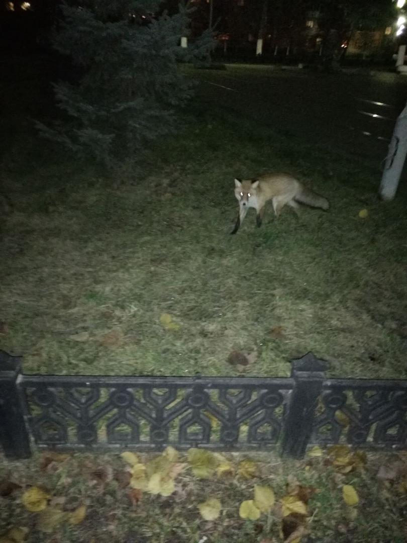 К музею в Ярославле пришла дикая лиса