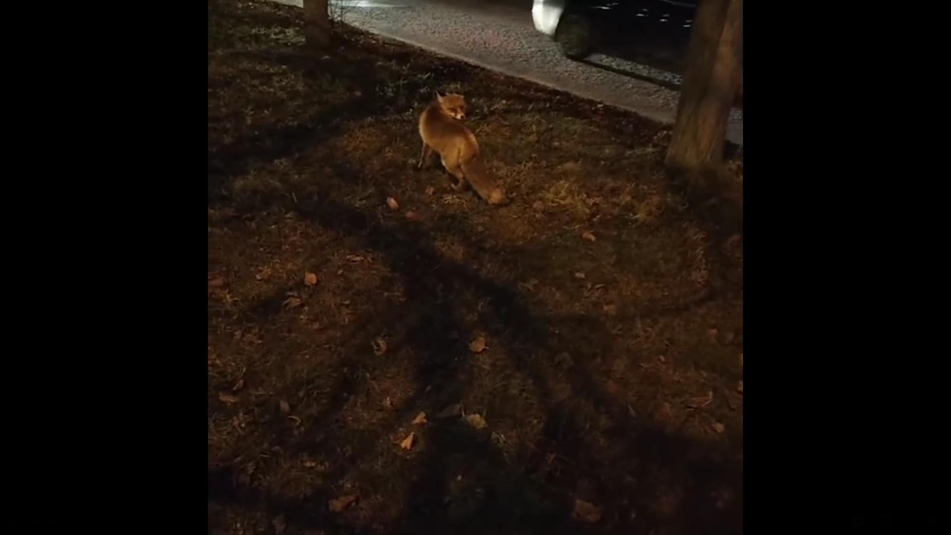 Возле дворца культуры в Ярославле на видео сняли лисицу