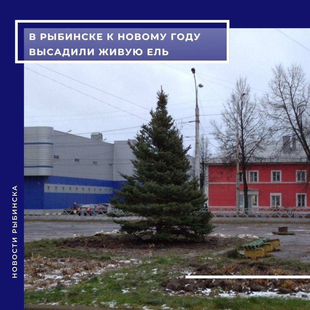 В Рыбинске в преддверии новогодних праздников высадили живую ель