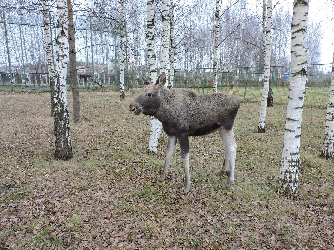 Спасенному в Ярославской области лосенку исполнилось 6 месяцев