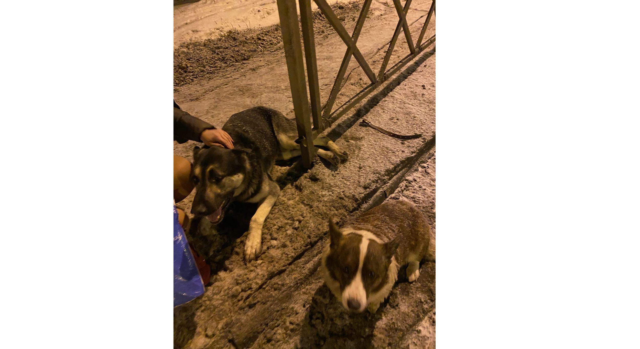 Летел на красный: в Ярославле маршрутка сбила двух собак и чуть не задела их хозяина