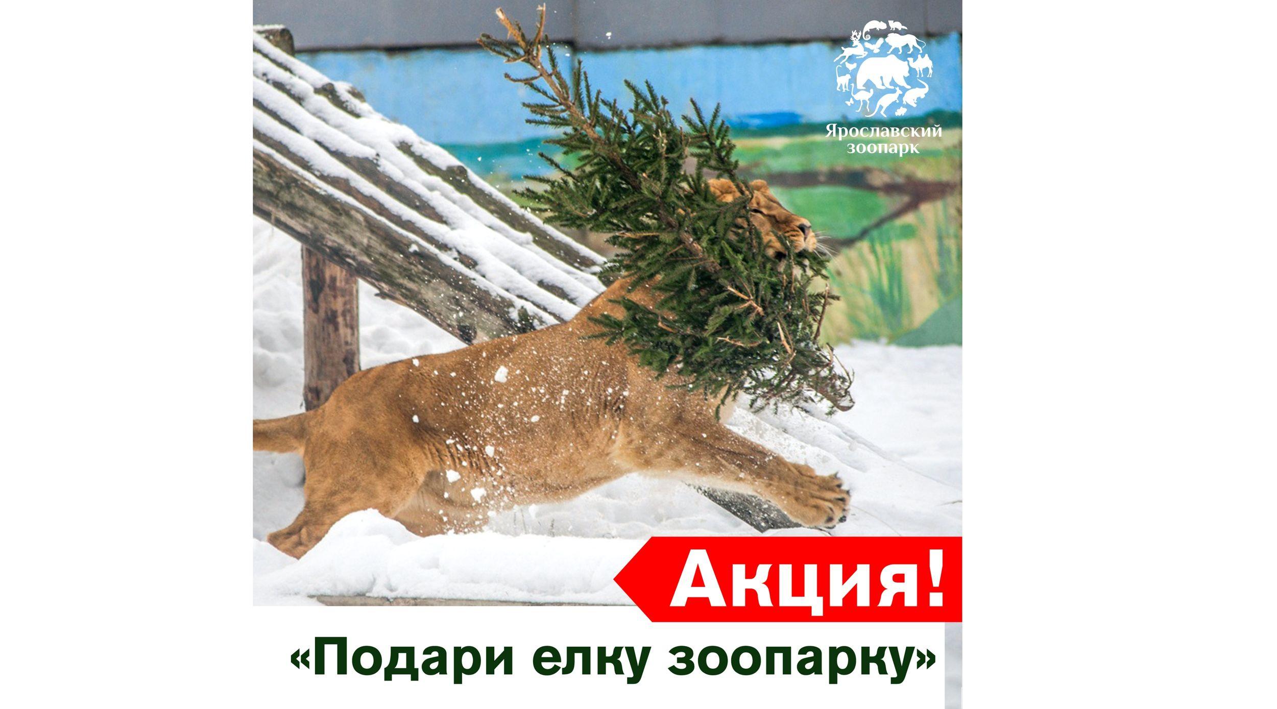 Ярославский зоопарк начинает принимать елки, «отслужившие» в новогодние праздники