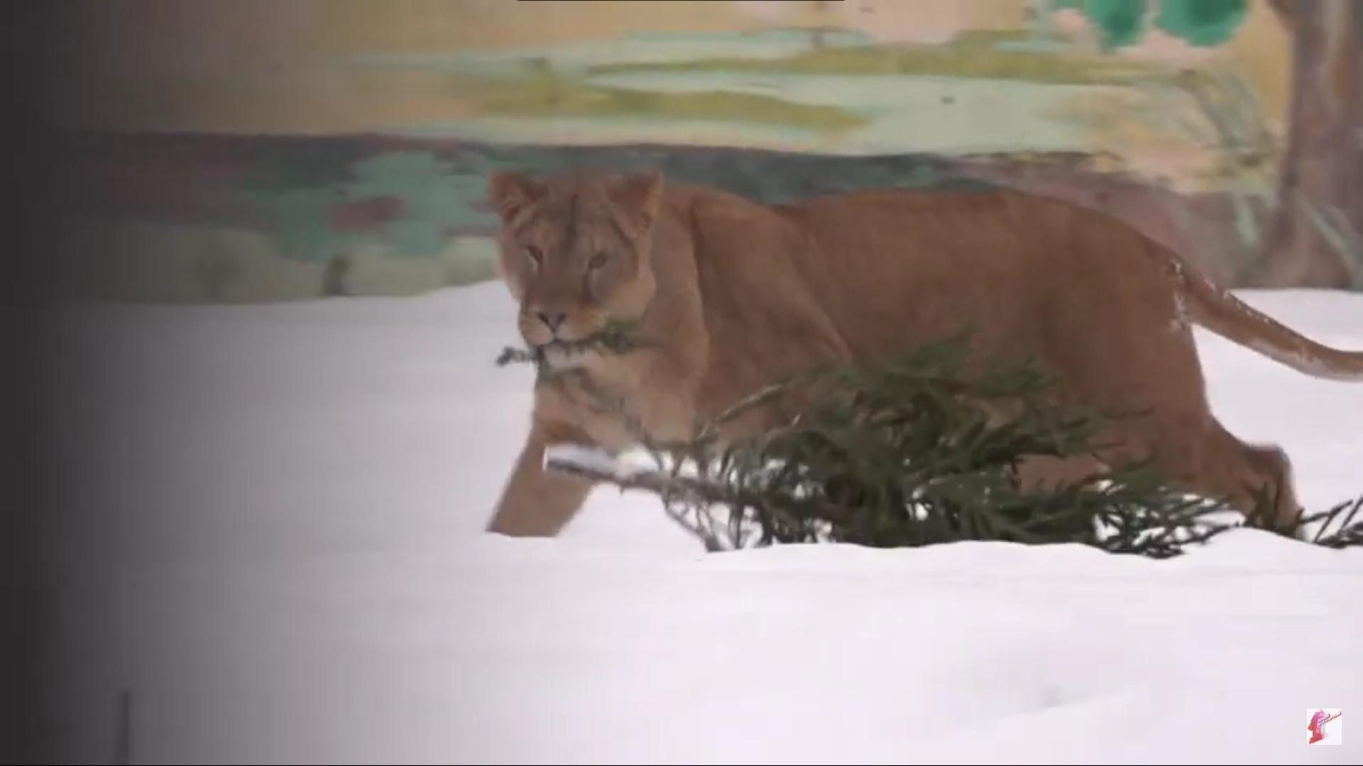 Ярославцы отдали в зоопарк более двухсот елей