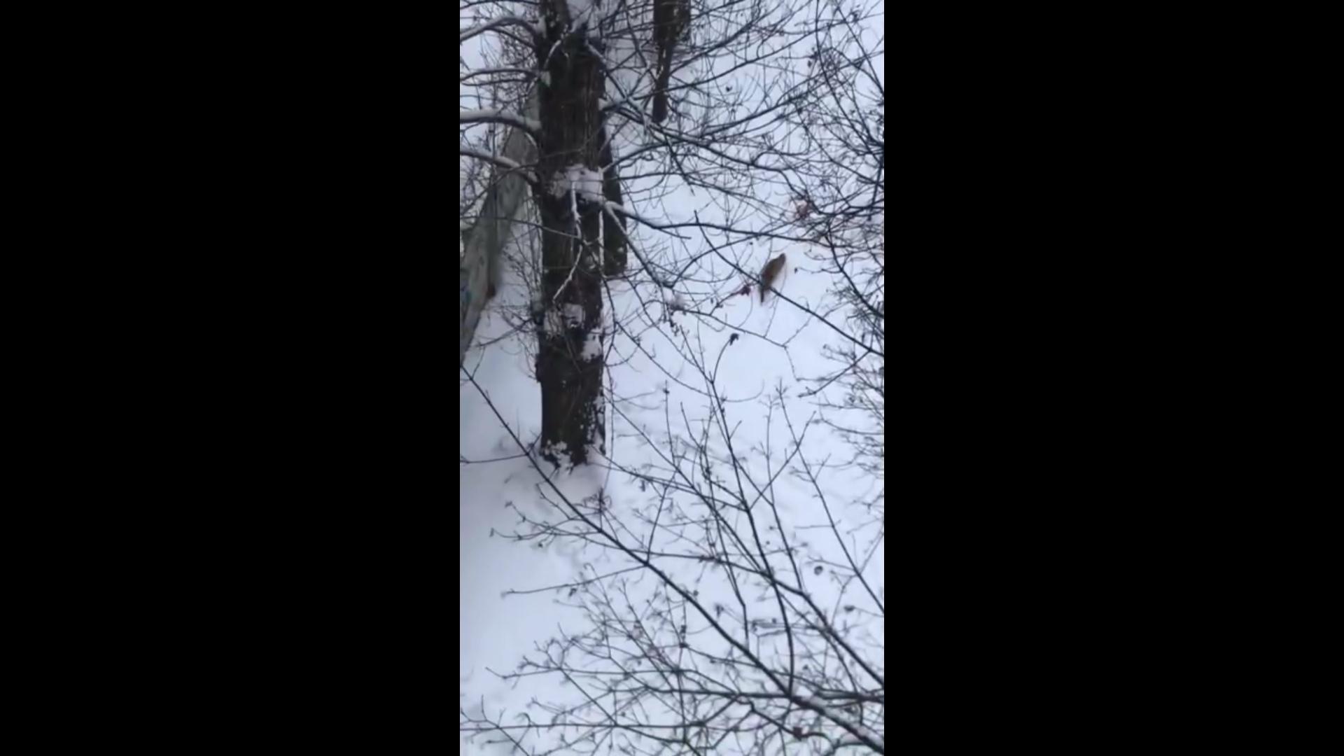 В Ярославле заметили лис, разгуливающих по городу
