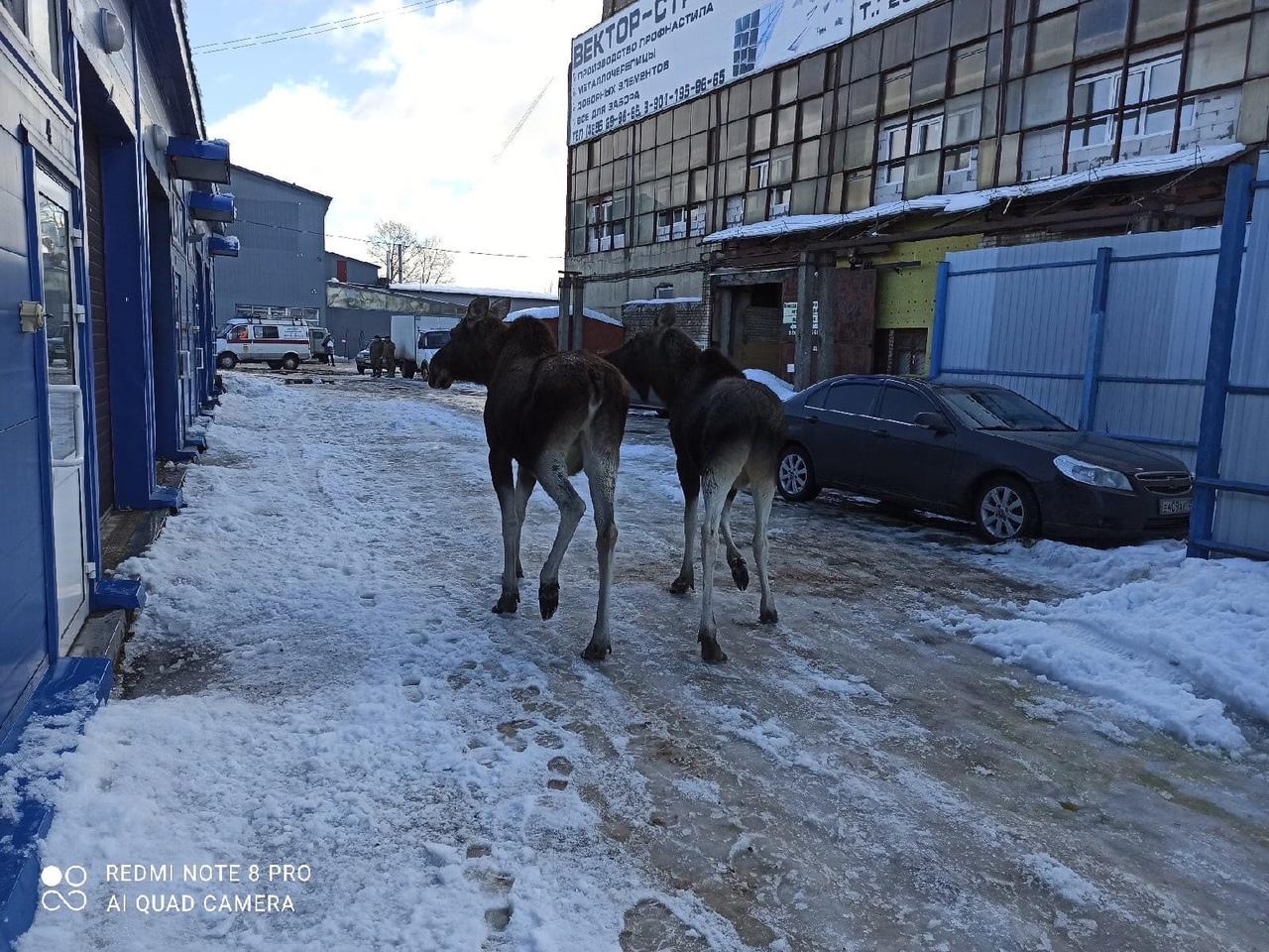 Одному из лосей в Рыбинске специалисты помогли вернуться в лес