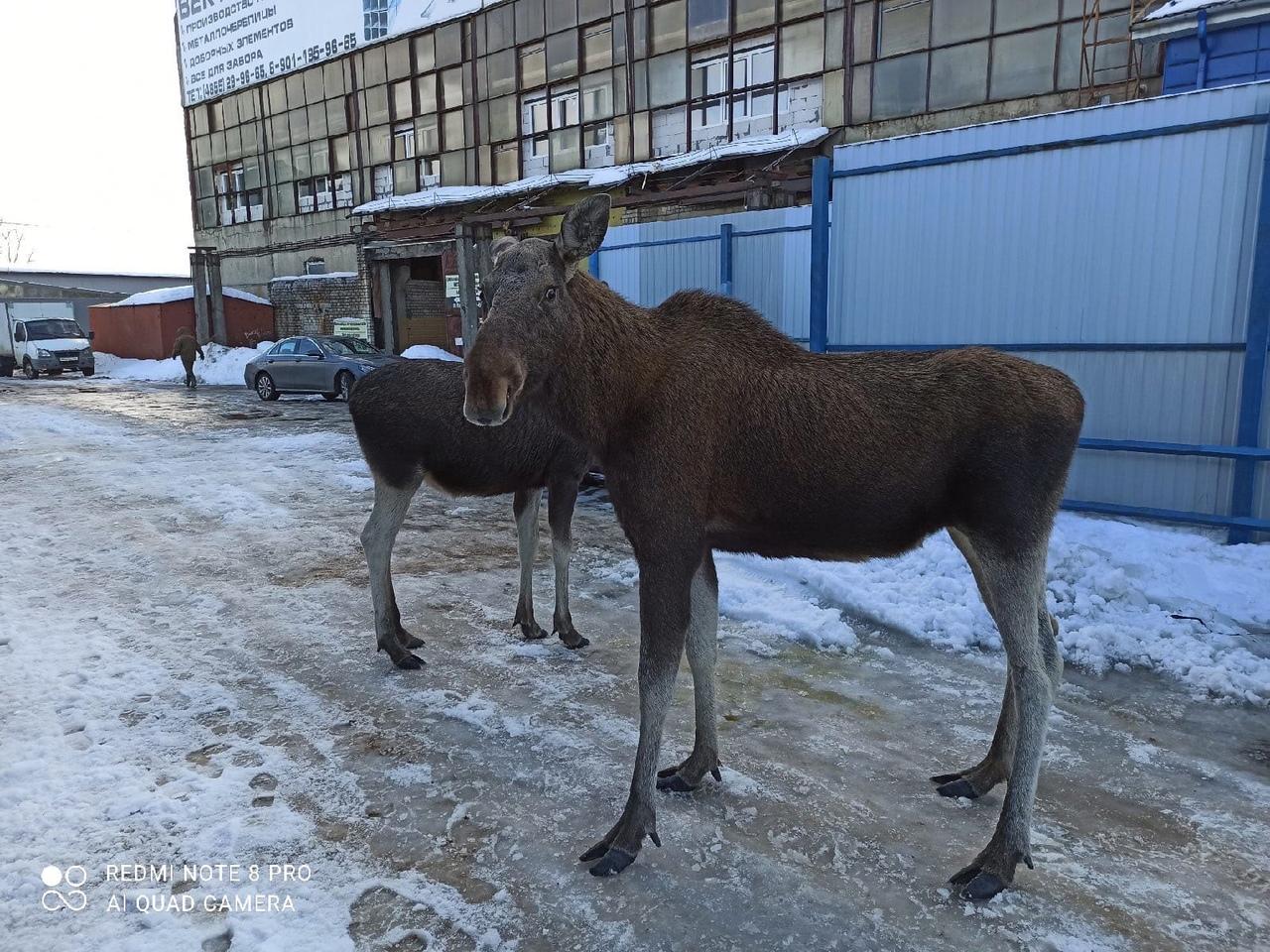 В Рыбинске пара лосей прогулялась по заснеженной набережной