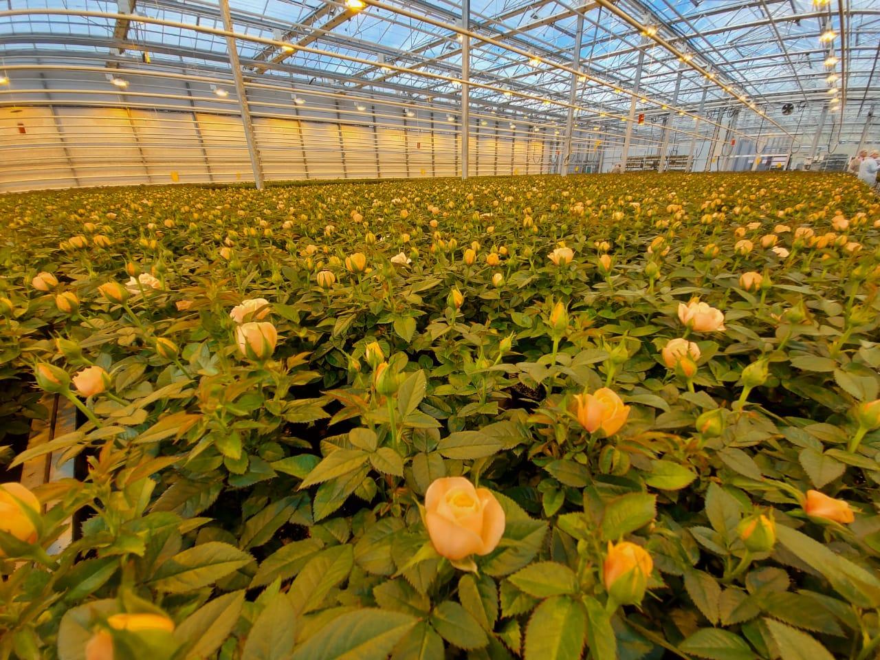 3 миллиона цветов вырастили ярославские предприятия к Международному женскому дню