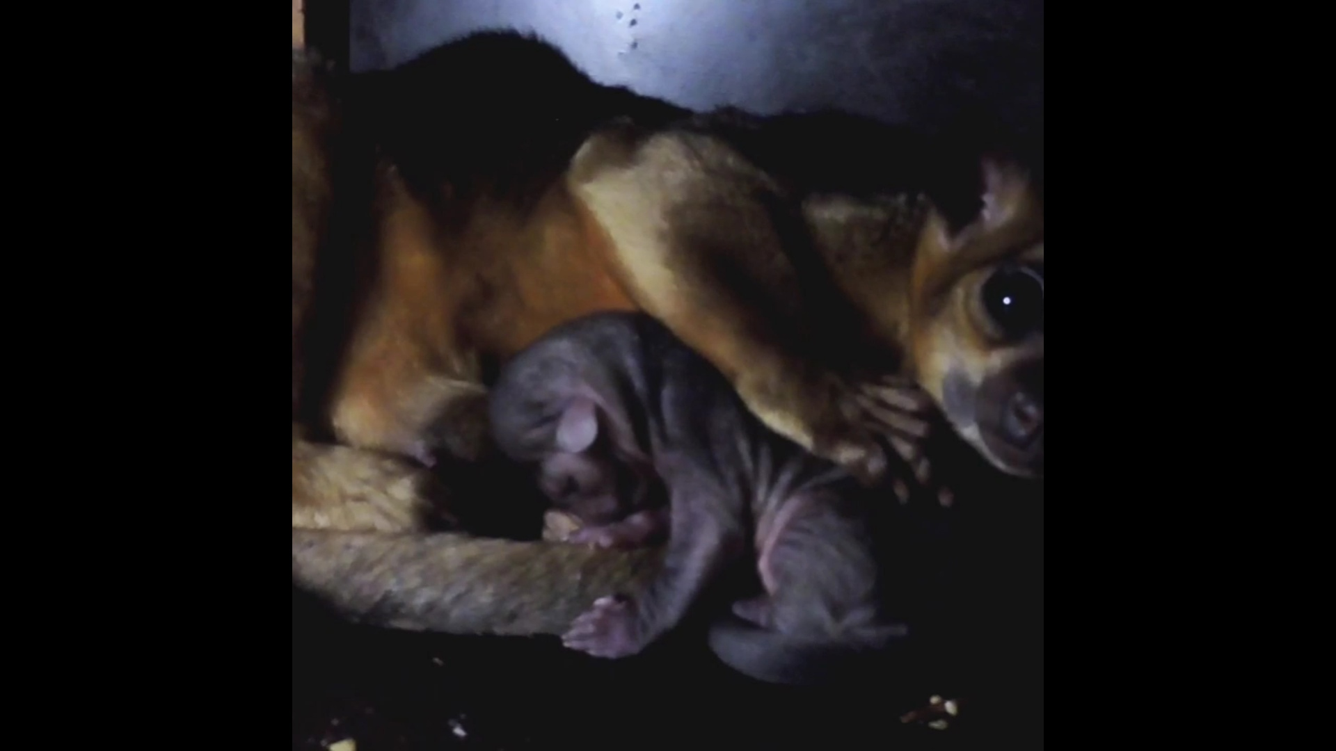 В Ярославском зоопарке родился малыш кинкажу