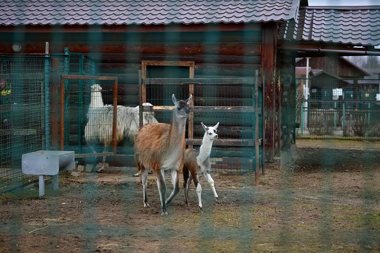 В Ярославском зоопарке детеныш ламы Пират впервые вышел на публику: фото