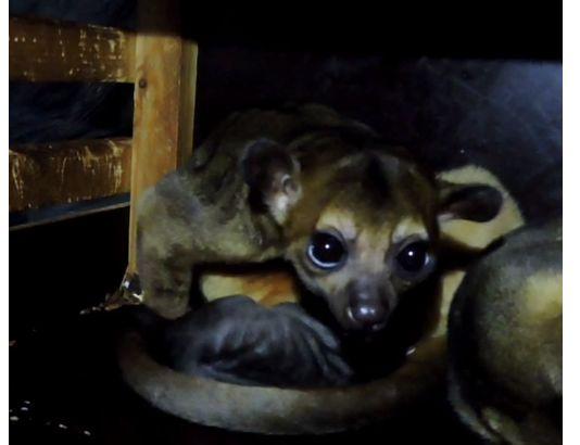 Ярославцы дали имя новорожденному малышу кинкажу в зоопарке