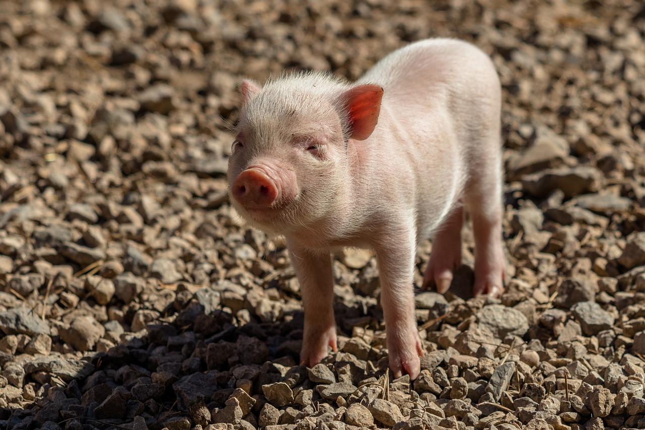 В Ярославском районе обнаружили очаг распространения африканской чумы свиней