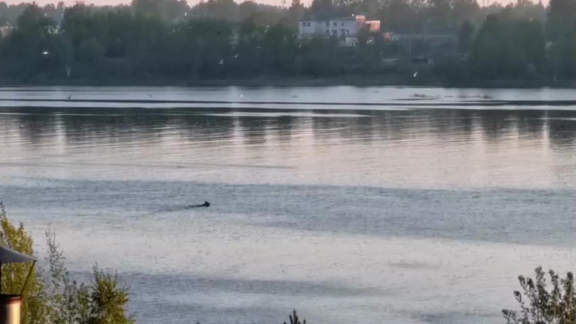 Переплывающего реку лося сняли на видео в Рыбинске