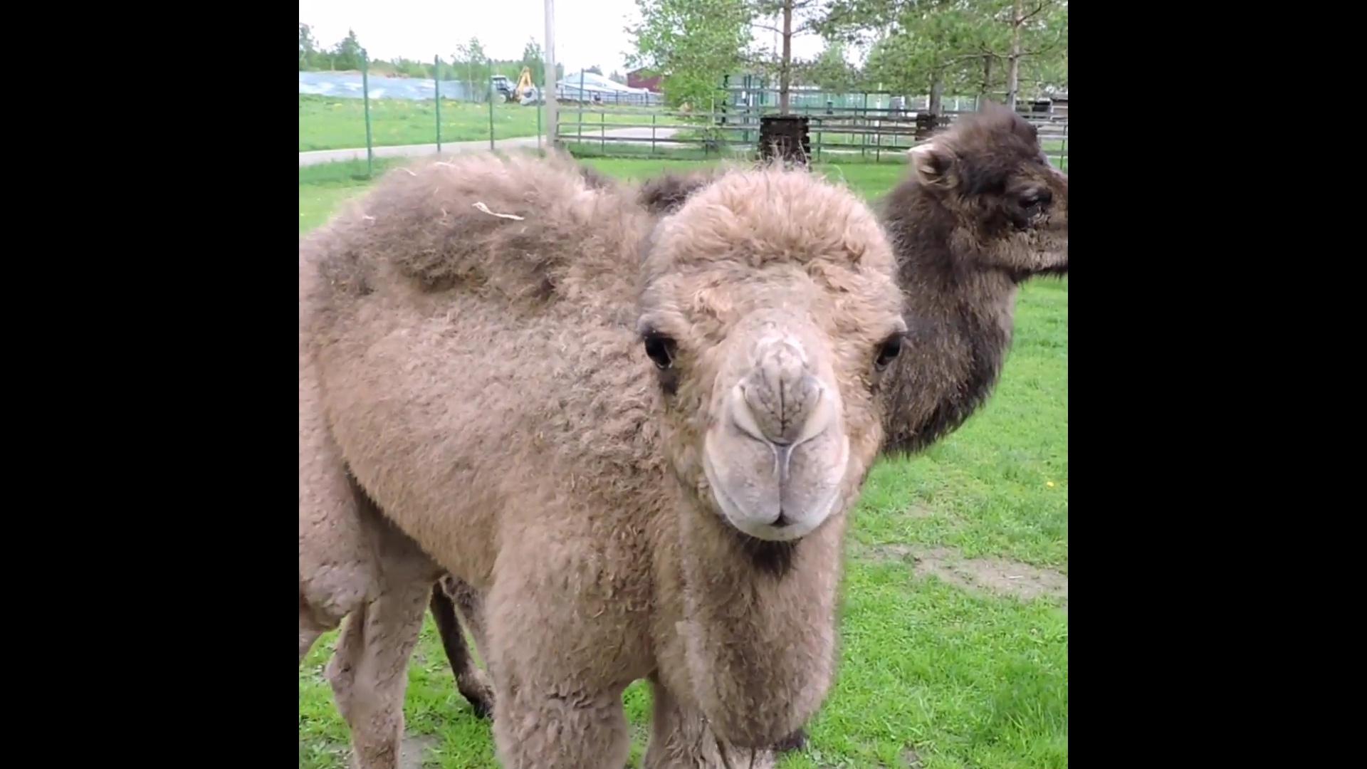 Без мам и пап: в Ярославском зоопарке появились два верблюжонка, которых не приняли родители