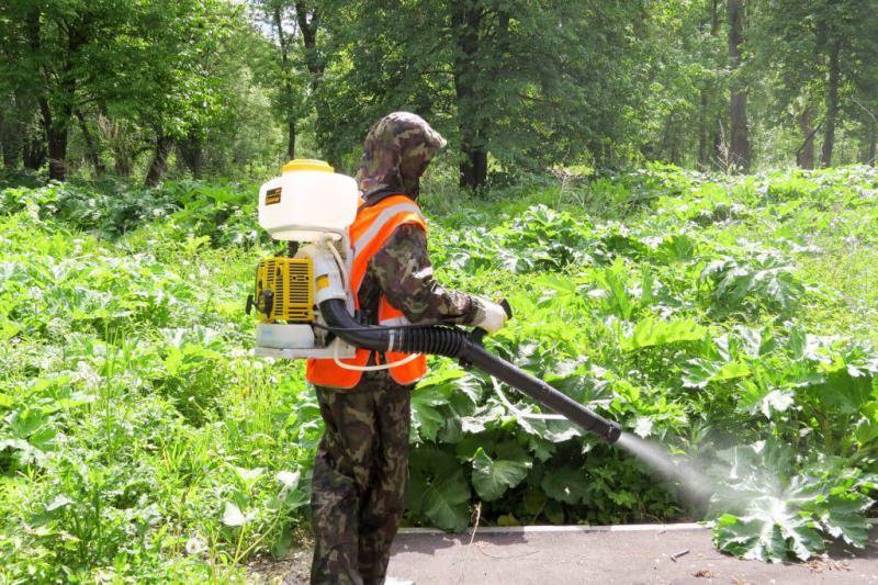 В Рыбинске с борщевиком борются с помощью гербицидов