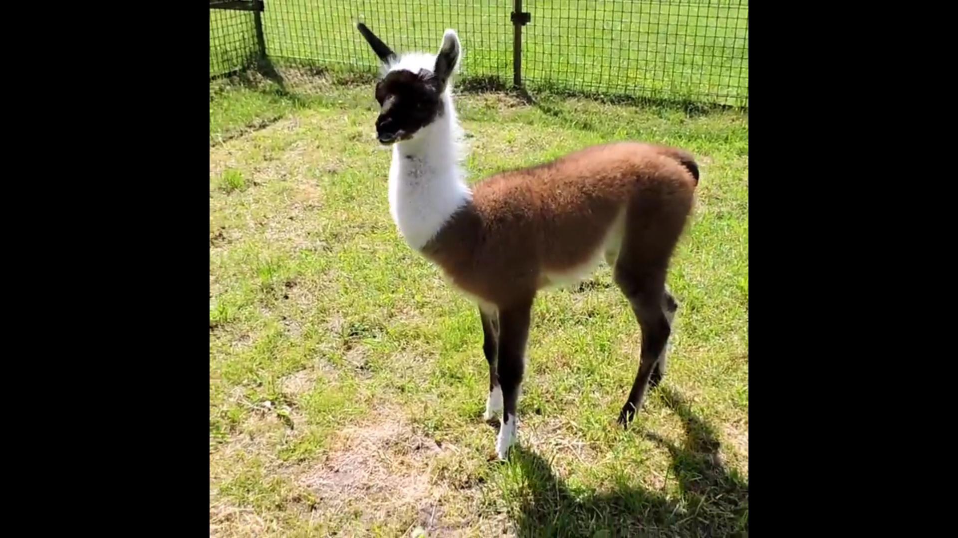 Только родилась и уже живет отдельно от родителей: в Ярославском зоопарке появилась малышка лама