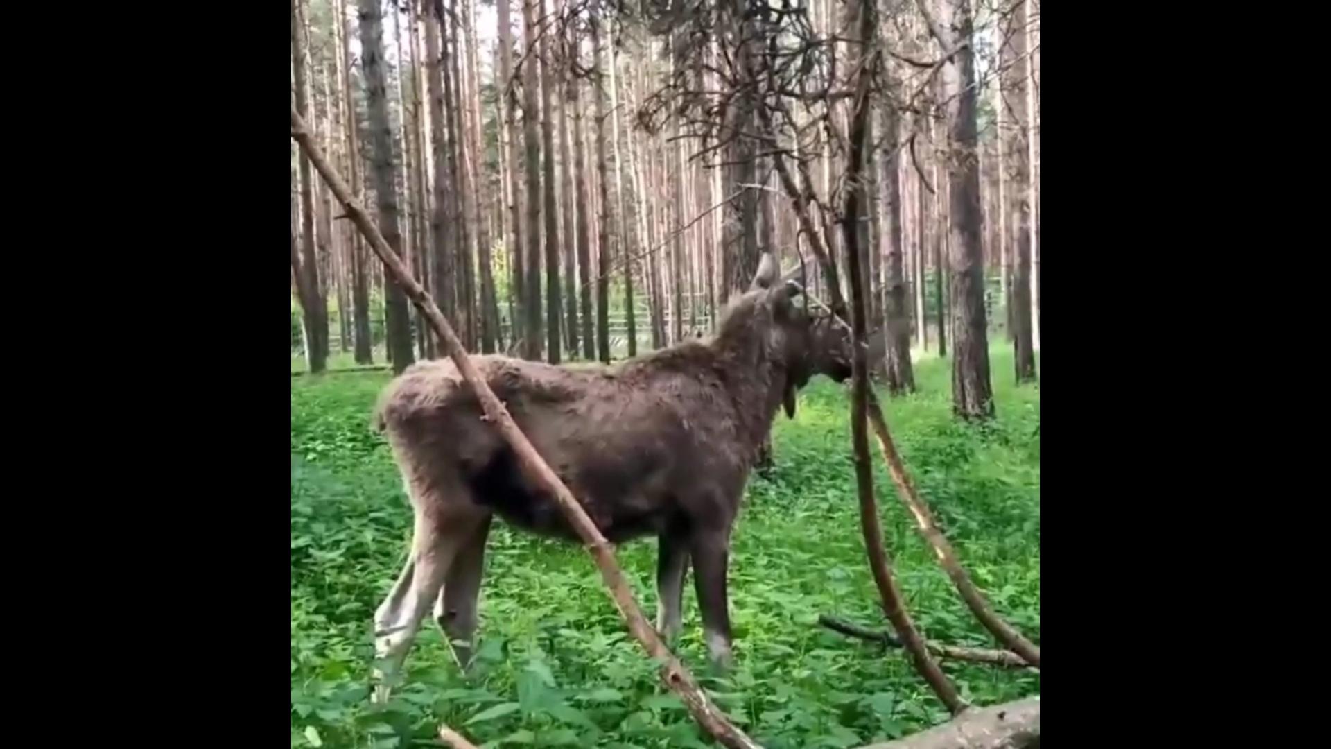 Лосиха Бемби сменила дом в Ярославском зоопарке