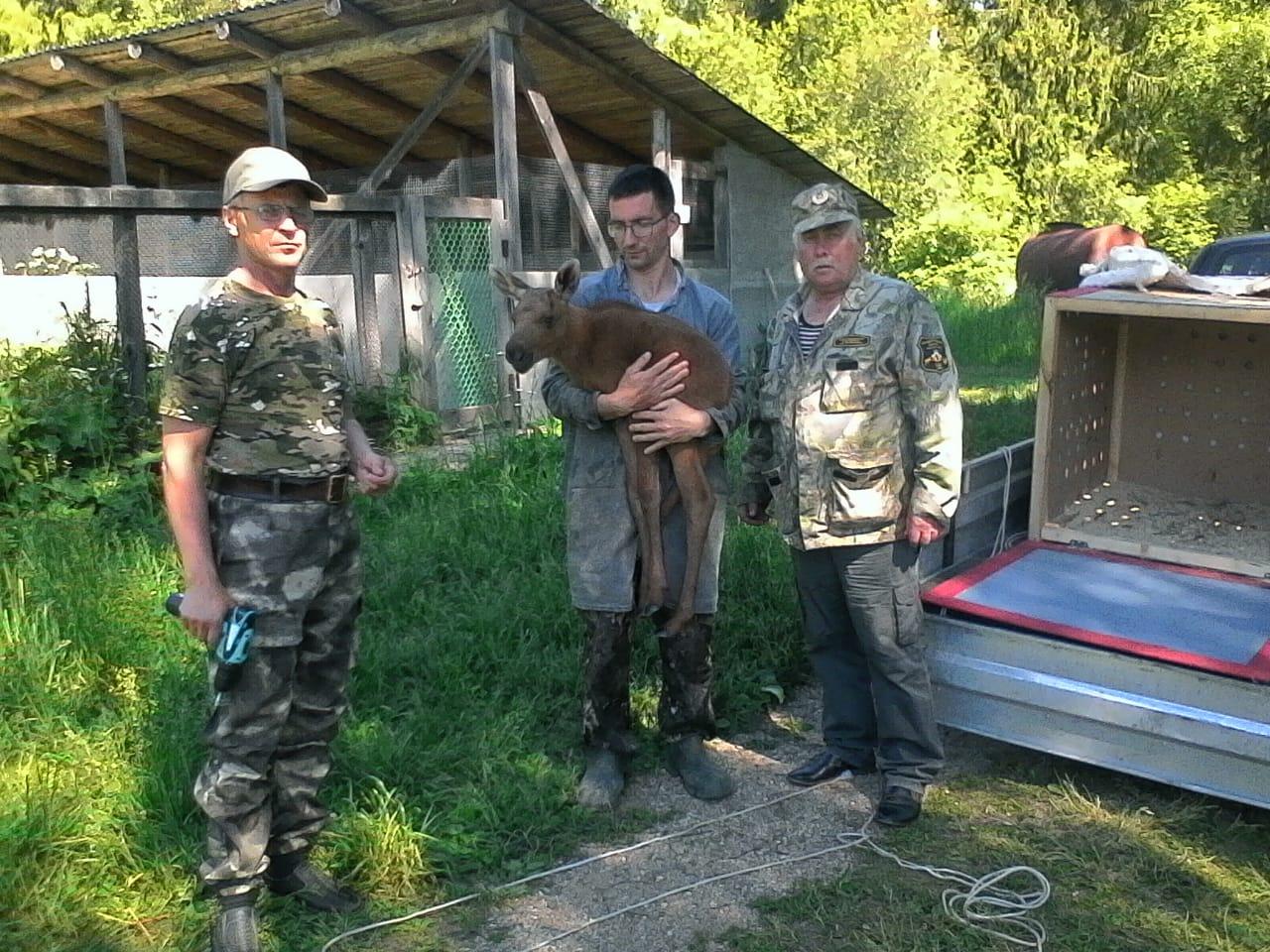 В Ярославской области оставшегося без матери лосенка отправили в костромской природный заказник