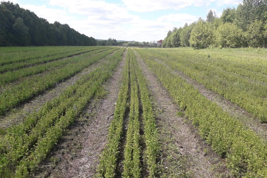 Более 9 млн сеянцев ели и сосны вырастили в лесопитомниках Ярославской области