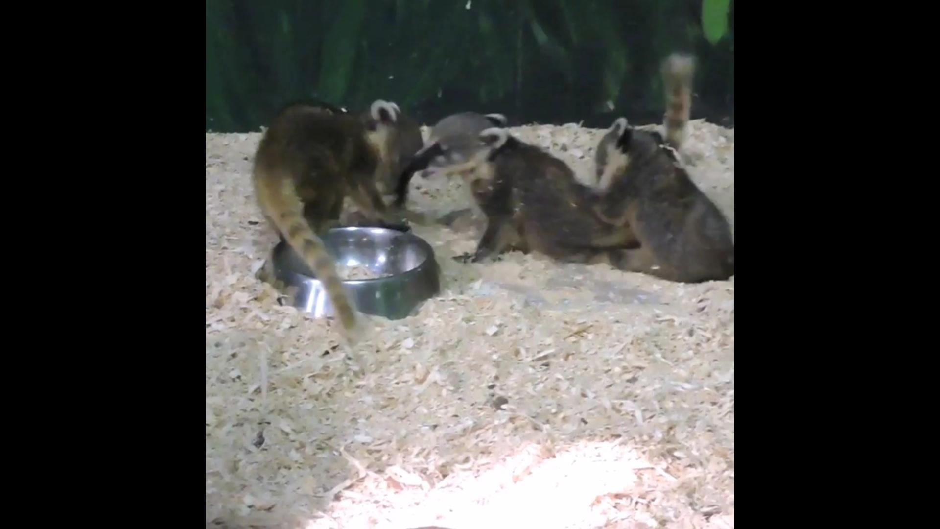 Милое трио: в Ярославском зоопарке на свет появились малыши-носухи