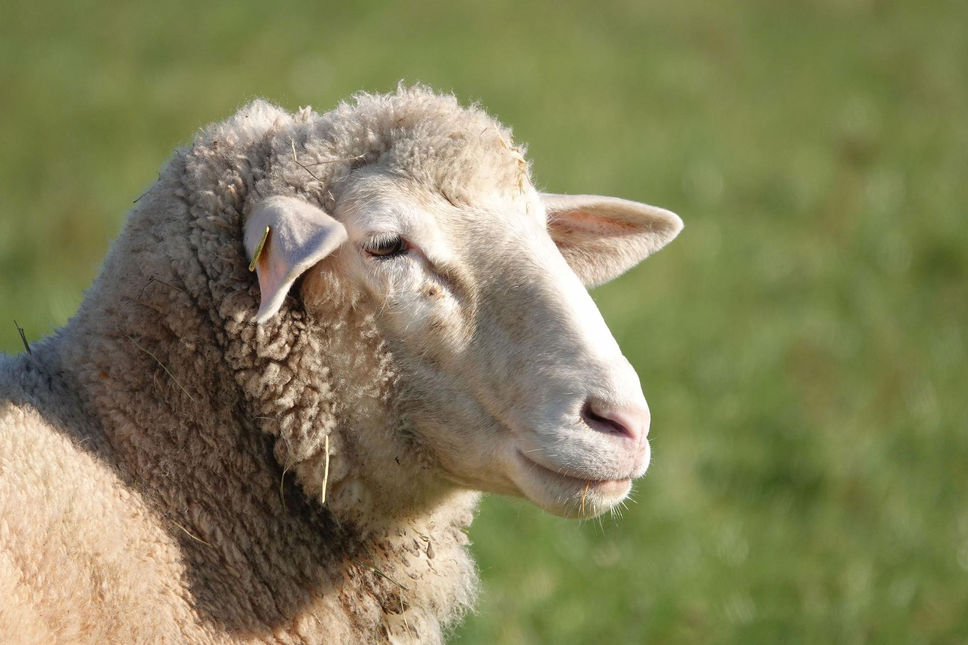 В Ярославской области выявили очаги оспы овец