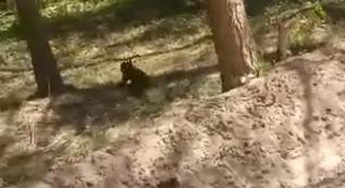 В лесу Ярославской области заметили медвежонка без мамы-медведицы и сняли на видео