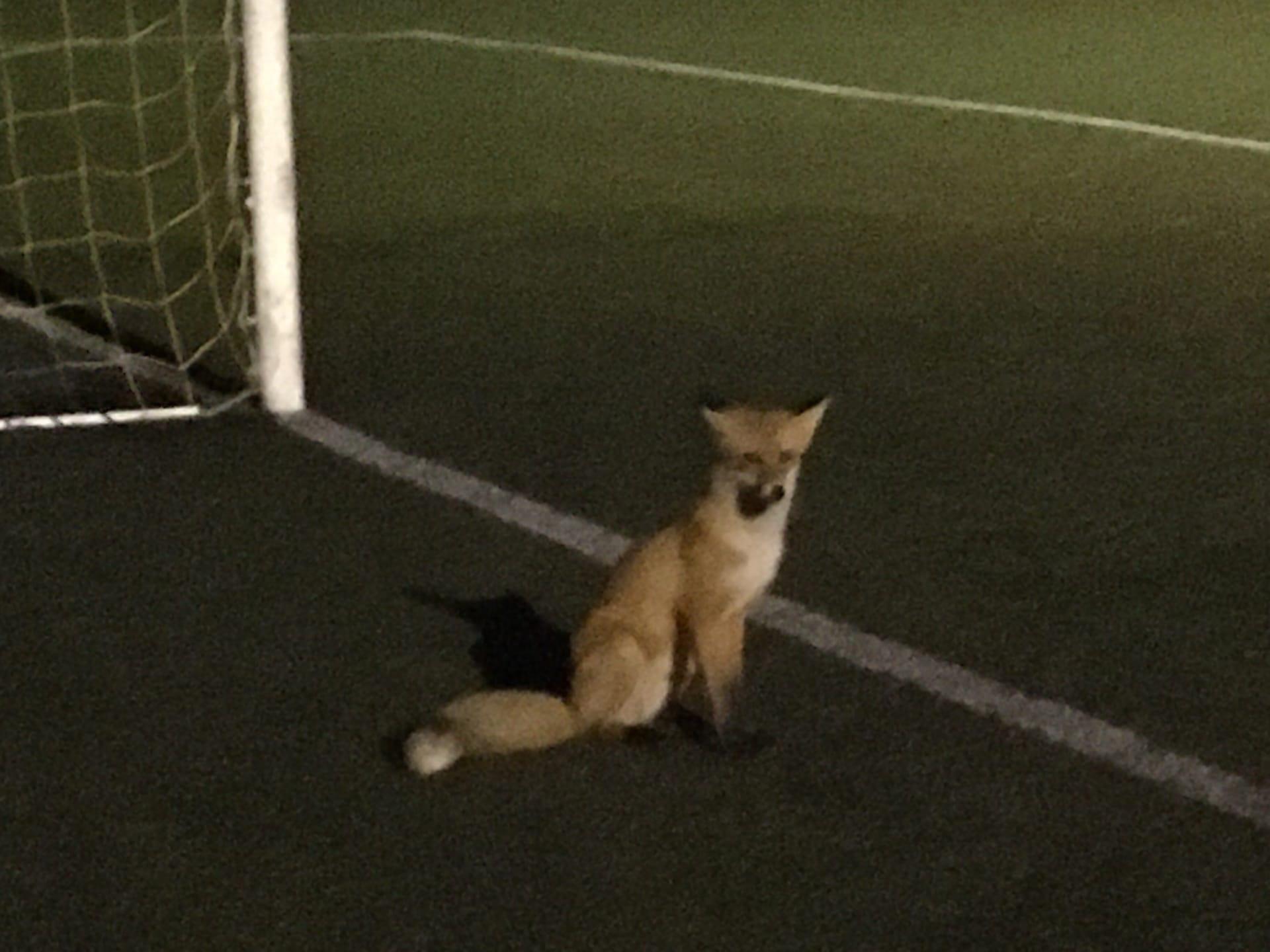 Лиса пришла на стадион поболеть за команды во время матча Рыбинской футбольной лиги