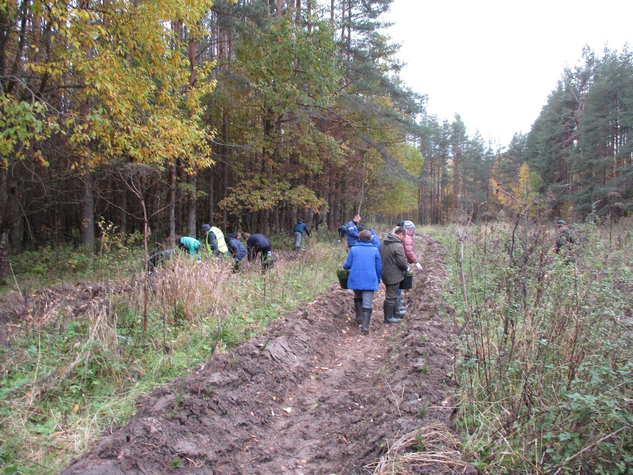 Больше тысячи деревьев посадили в лесах Некоузского района Ярославской области в рамках всероссийской акции