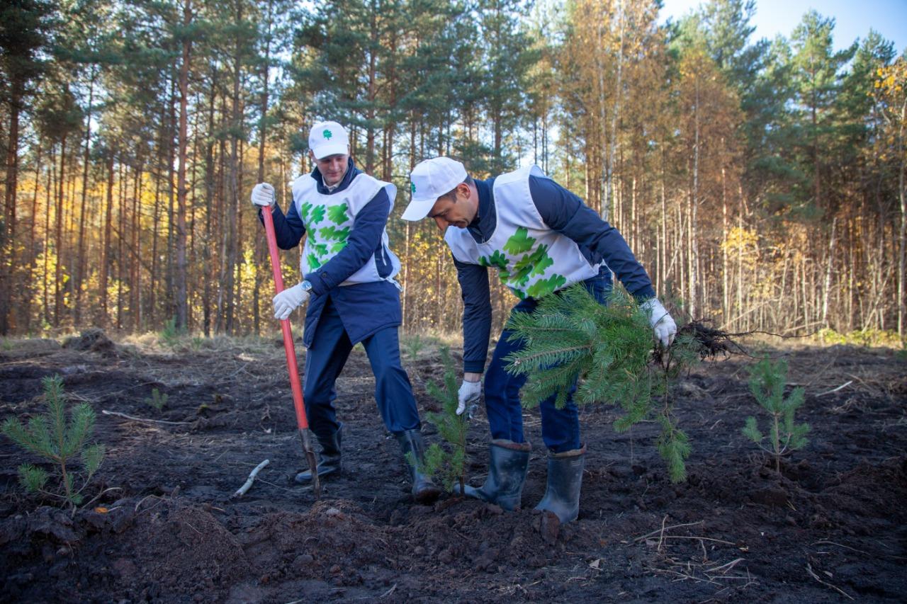 Осенью участники акции «Сохраним лес» посадили в Ярославской области более 70 тысяч деревьев