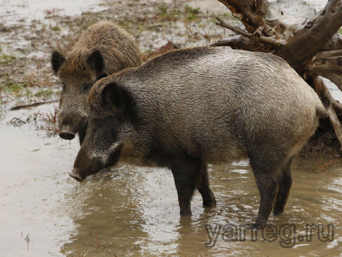 В Ярославской области в этом году запрещена охота на кабанов