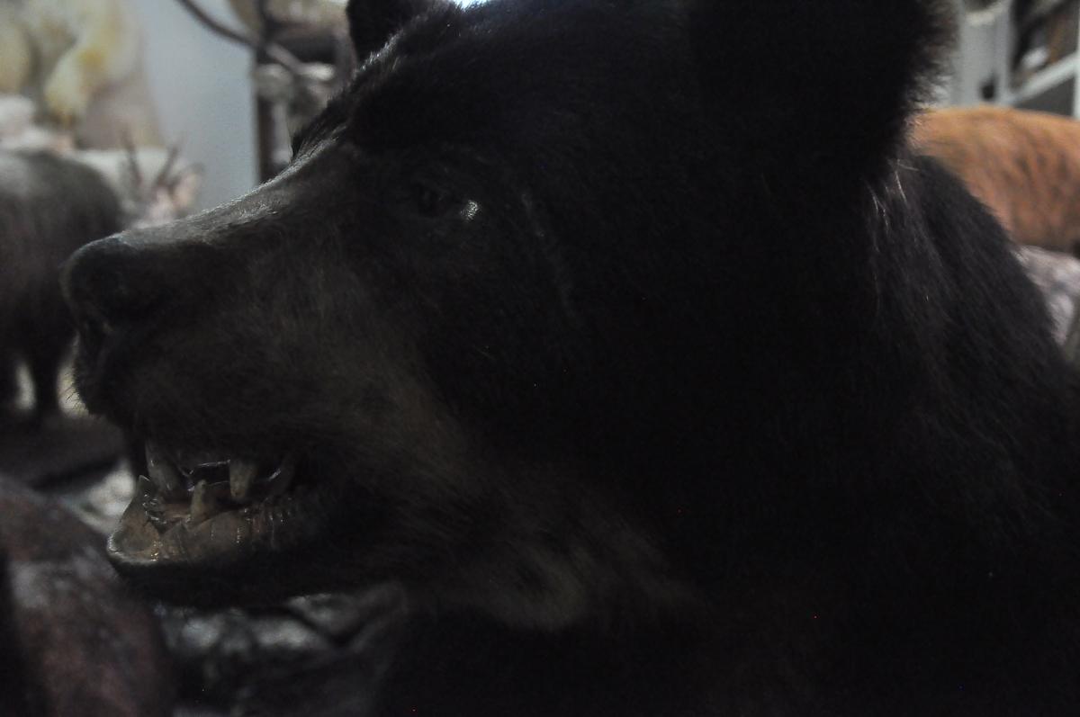 «Не медвежонок, а большой взрослый самец»: в Ярославской области хищник может выйти к людям