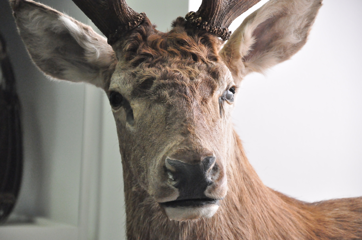 В Ярославской области олененка редкой породы загрызли собаки