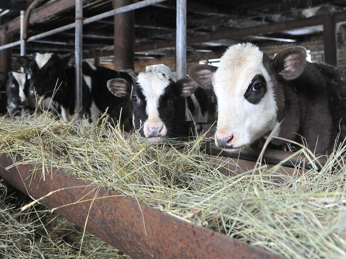 В Ярославской области прошел конкурс красоты среди коров