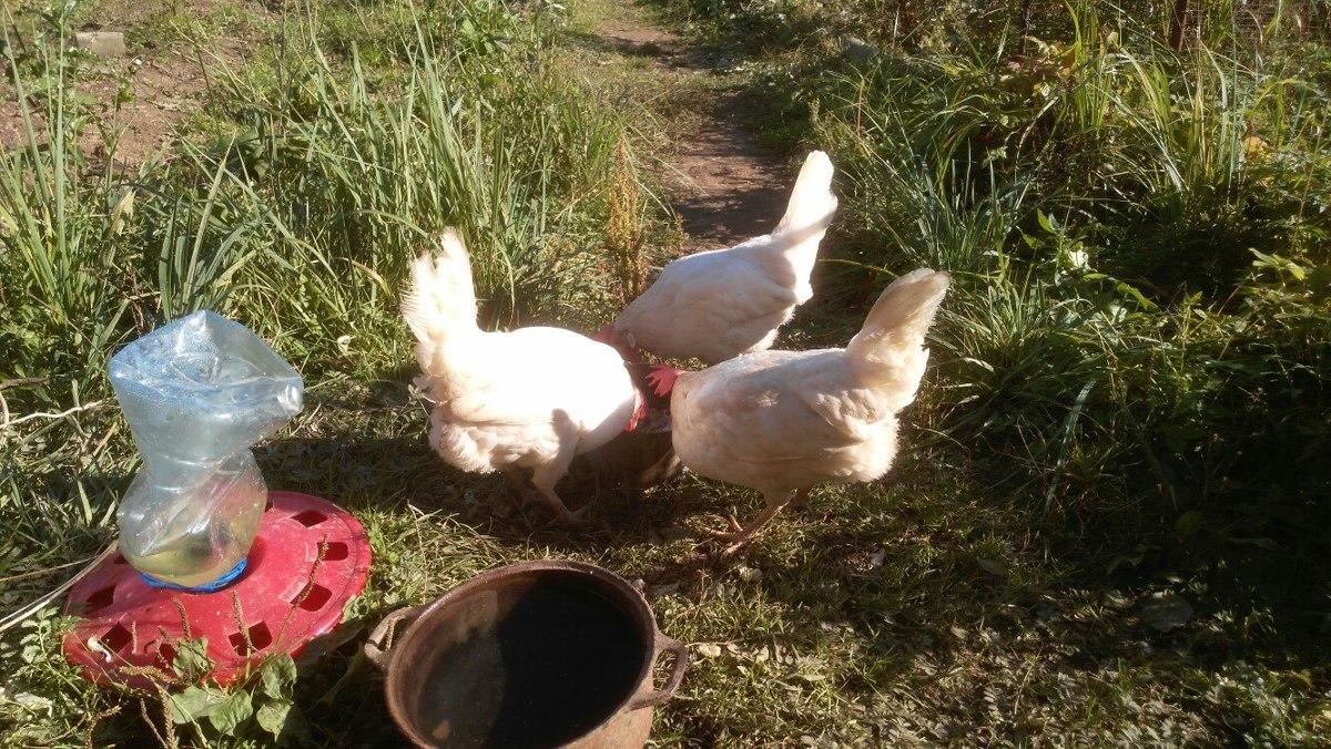 На птицефабрике в Ярославской области погибло около 300 тысяч кур