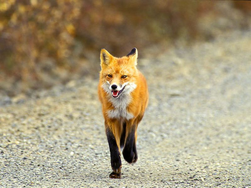 В Ярославской области обнаружили бешеную лису